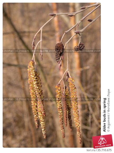 Alder buds in spring. Стоковое фото, фотограф Argument / Фотобанк Лори