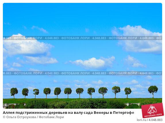Купить «Аллея подстриженных деревьев на валу сада Венеры в Петергофе», фото № 4048883, снято 15 августа 2012 г. (c) Ольга Остроухова / Фотобанк Лори