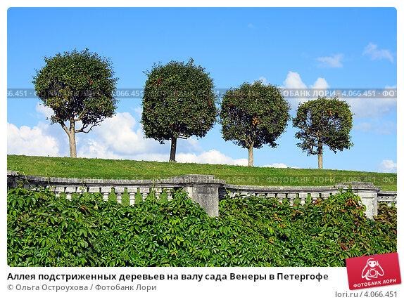 Купить «Аллея подстриженных деревьев на валу сада Венеры в Петергофе», фото № 4066451, снято 15 августа 2012 г. (c) Ольга Остроухова / Фотобанк Лори