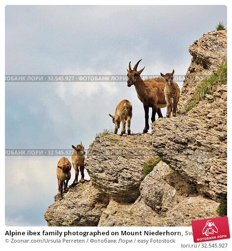 Купить «Alpine ibex family photographed on Mount Niederhorn, Switzerland. Rare wild animals living in the Alps.», фото № 32545927, снято 7 декабря 2019 г. (c) easy Fotostock / Фотобанк Лори