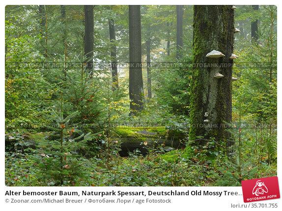 Alter bemooster Baum, Naturpark Spessart, Deutschland Old Mossy Tree... Стоковое фото, фотограф Zoonar.com/Michael Breuer / age Fotostock / Фотобанк Лори