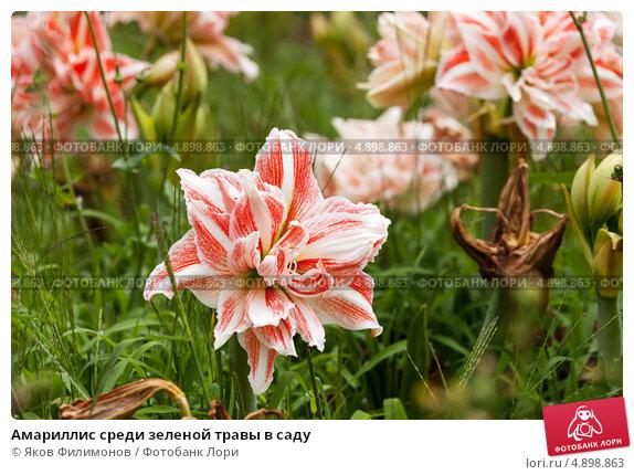 Купить «Амариллис среди зеленой травы в саду», фото № 4898863, снято 24 июня 2013 г. (c) Яков Филимонов / Фотобанк Лори