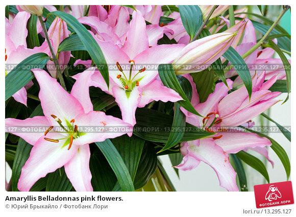 Купить «Amaryllis Belladonnas pink flowers.», фото № 13295127, снято 28 марта 2014 г. (c) Юрий Брыкайло / Фотобанк Лори