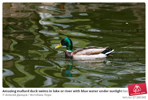 Купить «Amazing mallard duck swims in lake or river with blue water under sunlight landscape», фото № 27320543, снято 1 мая 2014 г. (c) Алексей Дмецов / Фотобанк Лори