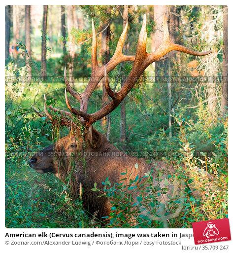 American elk (Cervus canadensis), image was taken in Jasper National... Стоковое фото, фотограф Zoonar.com/Alexander Ludwig / easy Fotostock / Фотобанк Лори