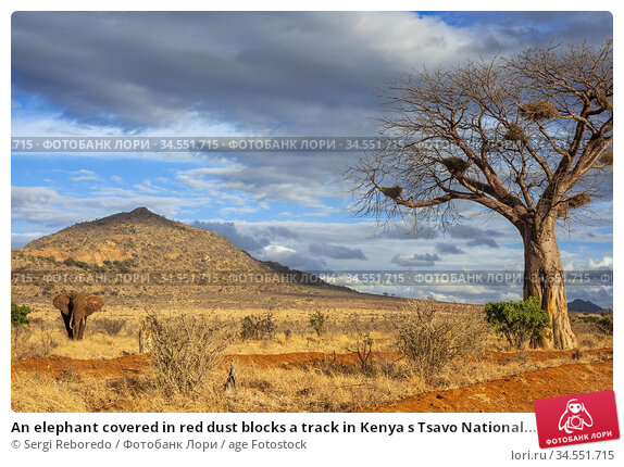 An elephant covered in red dust blocks a track in Kenya s Tsavo National... Стоковое фото, фотограф Sergi Reboredo / age Fotostock / Фотобанк Лори