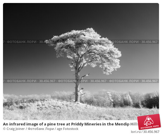 An infrared image of a pine tree at Priddy Mineries in the Mendip Hills, Somerset, England. Стоковое фото, фотограф Craig Joiner / age Fotostock / Фотобанк Лори