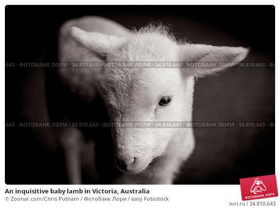 An inquisitive baby lamb in Victoria, Australia. Стоковое фото, фотограф Zoonar.com/Chris Putnam / easy Fotostock / Фотобанк Лори