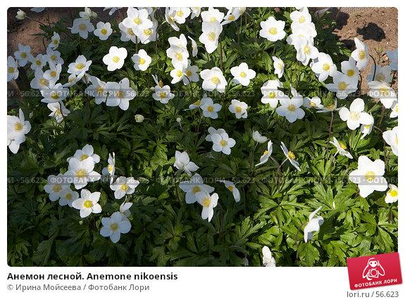 Анемон лесной. Anemone nikoensis, эксклюзивное фото № 56623, снято 12 мая 2007 г. (c) Ирина Мойсеева / Фотобанк Лори