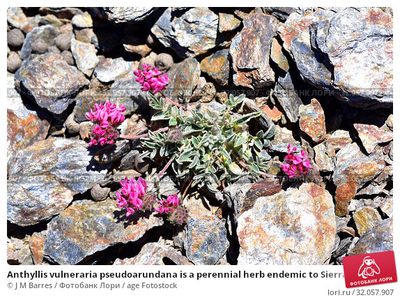 Anthyllis vulneraria pseudoarundana is a perennial herb endemic to Sierra Nevada (Granada, Spain) and Atlas Mountains (Morocco). This photo was taken in... Стоковое фото, фотограф J M Barres / age Fotostock / Фотобанк Лори