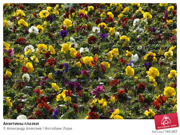 Анютины глазки, эксклюзивное фото № 165067, снято 25 мая 2006 г. (c) Александр Алексеев / Фотобанк Лори
