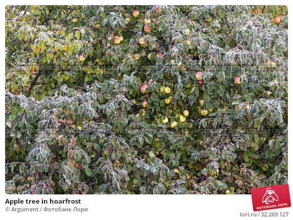 Купить «Apple tree in hoarfrost», фото № 32269127, снято 6 октября 2019 г. (c) Argument / Фотобанк Лори