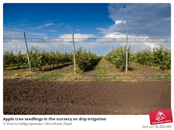 Apple tree seedlings in the nursery on drip irrigation. Стоковое фото, фотограф Ольга Сейфутдинова / Фотобанк Лори