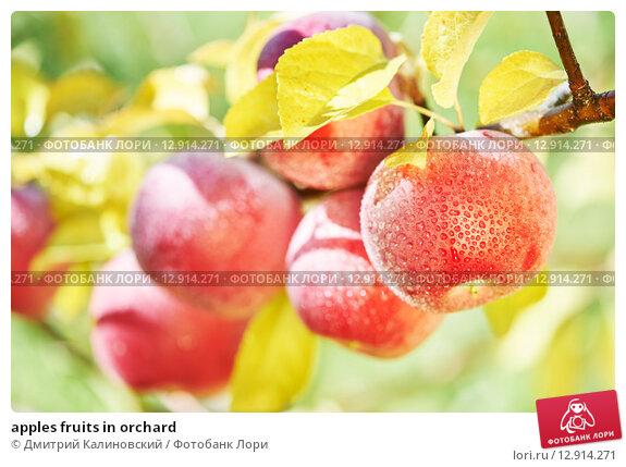 Купить «apples fruits in orchard», фото № 12914271, снято 6 октября 2015 г. (c) Дмитрий Калиновский / Фотобанк Лори