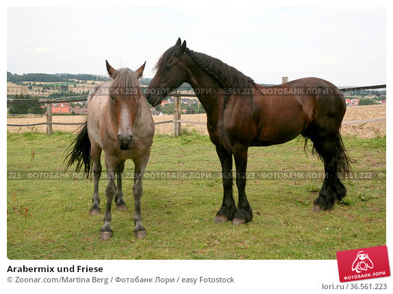 Arabermix und Friese. Стоковое фото, фотограф Zoonar.com/Martina Berg / easy Fotostock / Фотобанк Лори