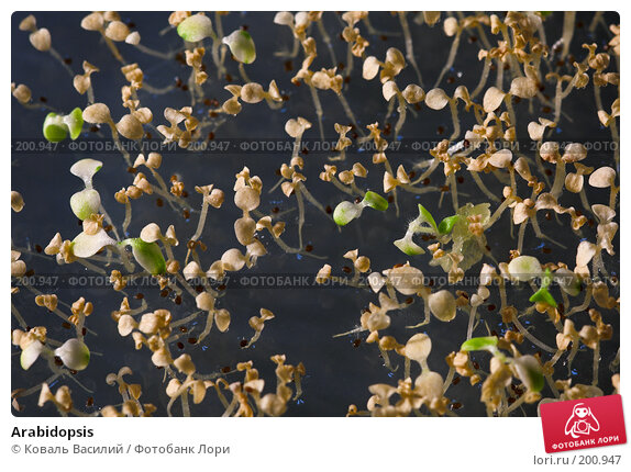 Arabidopsis, фото № 200947, снято 6 декабря 2007 г. (c) Коваль Василий / Фотобанк Лори