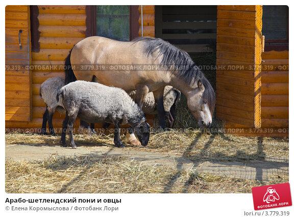 Купить «Арабо-шетлендский пони и овцы», эксклюзивное фото № 3779319, снято 12 июня 2012 г. (c) Елена Коромыслова / Фотобанк Лори