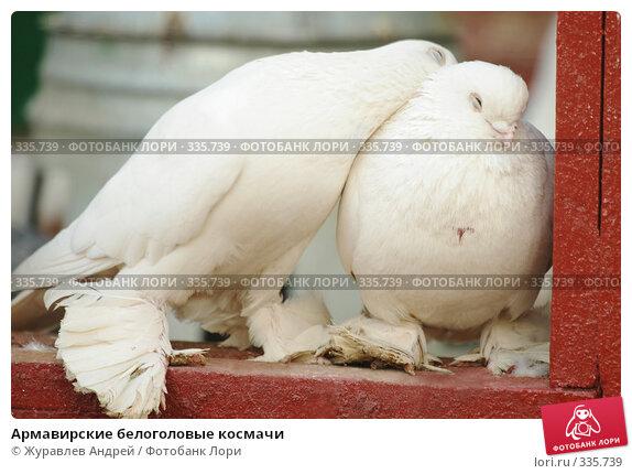 Армавирские белоголовые космачи, эксклюзивное фото № 335739, снято 4 мая 2008 г. (c) Журавлев Андрей / Фотобанк Лори