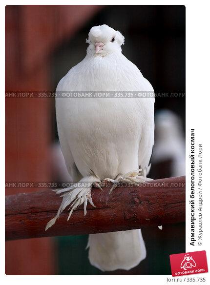 Армавирский белоголовый космач, эксклюзивное фото № 335735, снято 4 мая 2008 г. (c) Журавлев Андрей / Фотобанк Лори