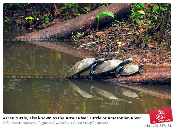 Arrau turtle, also known as the Arrau River Turtle or Amazonian River... Стоковое фото, фотограф Zoonar.com/Ksenia Ragozina / easy Fotostock / Фотобанк Лори