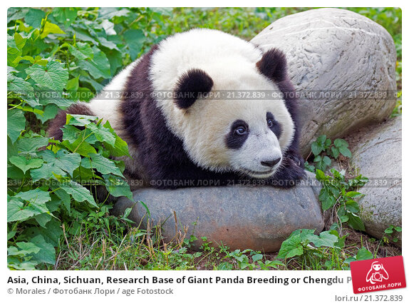 captive breeding in panda bears essay