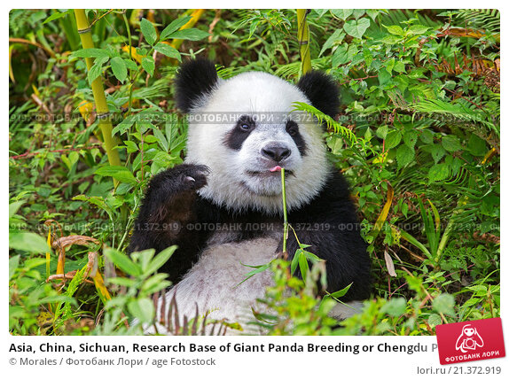 a research on different articles on the genomes of the giant panda Book description: the much-loved giant panda, a secretive denizen of the dense bamboo forests of western china, has become an icon worldwide of progress in conservation and research.