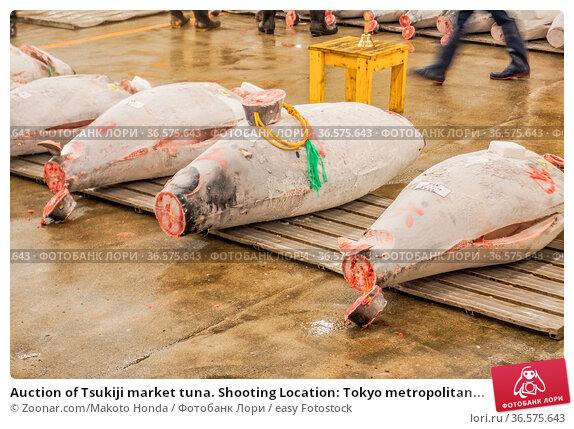 Auction of Tsukiji market tuna. Shooting Location: Tokyo metropolitan... Стоковое фото, фотограф Zoonar.com/Makoto Honda / easy Fotostock / Фотобанк Лори