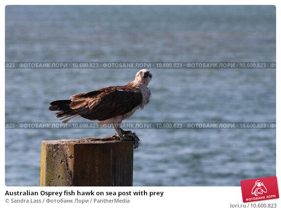Australian Osprey fish hawk on sea post with prey. Стоковое фото, фотограф Sandra Lass / PantherMedia / Фотобанк Лори