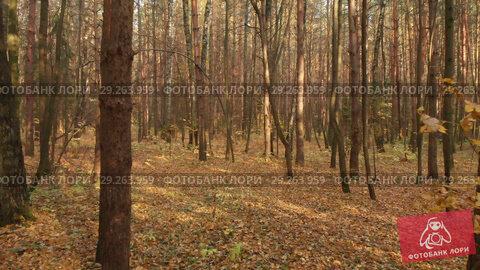 Купить «Autumn deciduous forest on clear day», видеоролик № 29263959, снято 22 июля 2019 г. (c) Володина Ольга / Фотобанк Лори