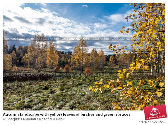 Купить «Autumn landscape with yellow leaves of birches and green spruces», фото № 32270559, снято 5 октября 2019 г. (c) Валерий Смирнов / Фотобанк Лори