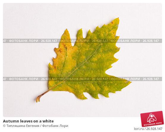 Купить «Autumn leaves on a white», фото № 26928147, снято 10 ноября 2016 г. (c) Типляшина Евгения / Фотобанк Лори