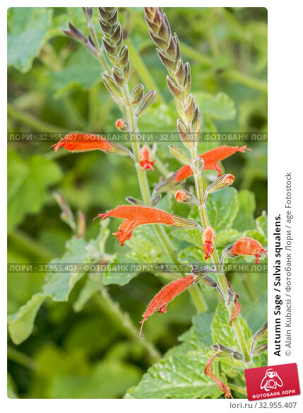 Autumn Sage / Salvia squalens. Стоковое фото, фотограф Alain Kubacsi / age Fotostock / Фотобанк Лори
