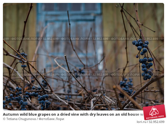 Autumn wild blue grapes on a dried vine with dry leaves on an old house wall. Copy space. Стоковое фото, фотограф Tetiana Chugunova / Фотобанк Лори
