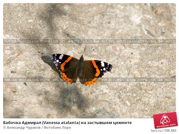 Бабочка Адмирал (Vanessa atalanta) на застывшем цементе, фото № 109383, снято 8 августа 2006 г. (c) Александр Чураков / Фотобанк Лори
