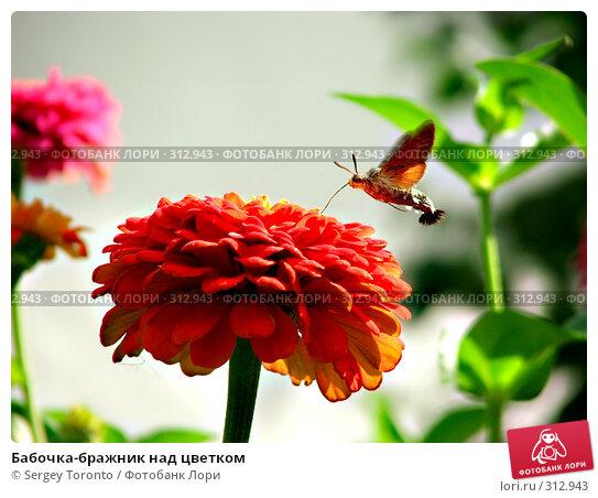 Бабочка-бражник над цветком, фото № 312943, снято 6 января 2004 г. (c) Sergey Toronto / Фотобанк Лори
