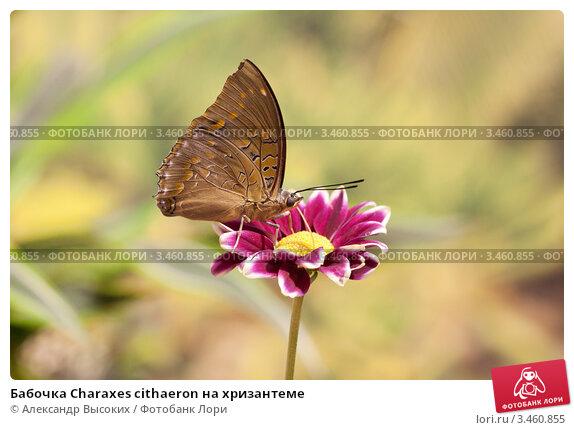 Бабочка Charaxes cithaeron на хризантеме. Стоковое фото, фотограф Александр Высоких / Фотобанк Лори