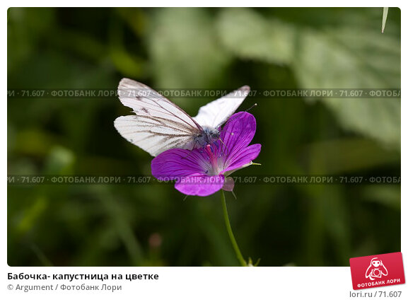 Бабочка- капустница на цветке, фото № 71607, снято 5 августа 2007 г. (c) Argument / Фотобанк Лори