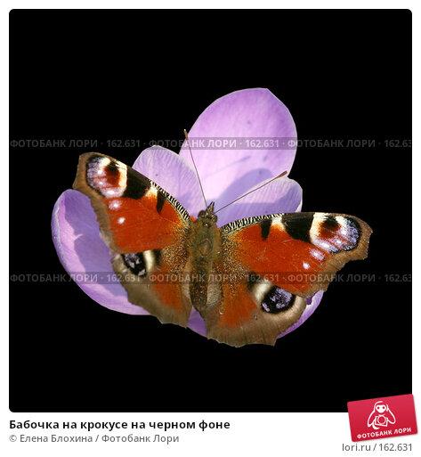 Бабочка на крокусе на черном фоне, фото № 162631, снято 22 июля 2017 г. (c) Елена Блохина / Фотобанк Лори