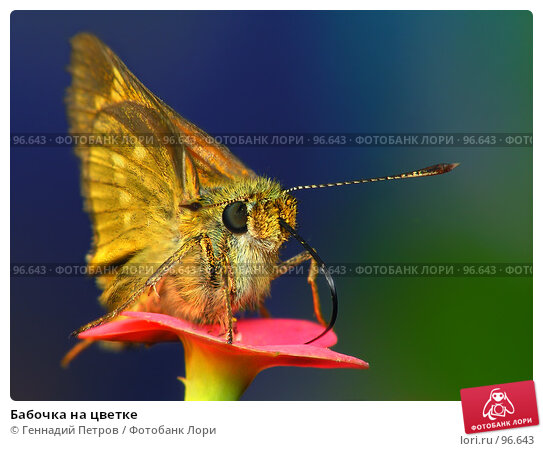 Бабочка на цветке, фото № 96643, снято 18 января 2017 г. (c) Геннадий Петров / Фотобанк Лори
