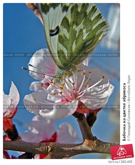 Бабочка на цветке абрикоса, фото № 283435, снято 13 мая 2008 г. (c) Геннадий Соловьев / Фотобанк Лори