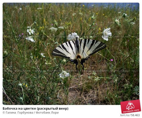 Бабочка на цветке (раскрытый веер), фото № 58463, снято 28 июня 2006 г. (c) Галина  Горбунова / Фотобанк Лори