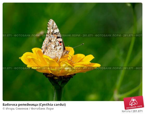 Бабочка репейница (Cynthia cardui), фото № 281871, снято 19 июля 2007 г. (c) Игорь Семенов / Фотобанк Лори