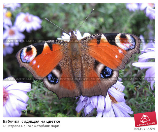 Бабочка, сидящая на цветке, фото № 18591, снято 12 октября 2006 г. (c) Петрова Ольга / Фотобанк Лори