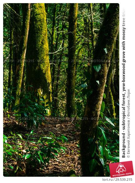Купить «Background - subtropical forest, yew-boxwood grove with mossy tree trunks», фото № 29539215, снято 26 сентября 2017 г. (c) Евгений Харитонов / Фотобанк Лори