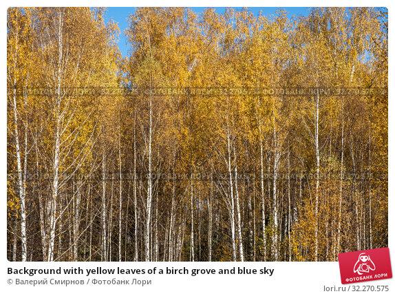 Купить «Background with yellow leaves of a birch grove and blue sky», фото № 32270575, снято 5 октября 2019 г. (c) Валерий Смирнов / Фотобанк Лори