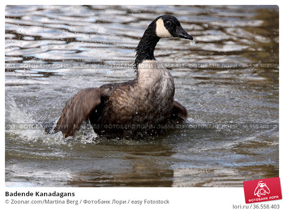 Badende Kanadagans. Стоковое фото, фотограф Zoonar.com/Martina Berg / easy Fotostock / Фотобанк Лори