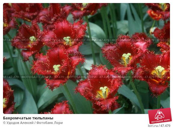 Купить «Бахромчатые тюльпаны», фото № 47479, снято 22 мая 2007 г. (c) Удодов Алексей / Фотобанк Лори