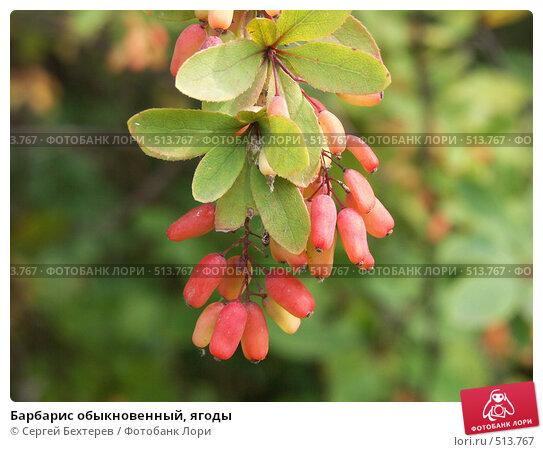 Купить «Барбарис обыкновенный, ягоды», фото № 513767, снято 20 августа 2004 г. (c) Сергей Бехтерев / Фотобанк Лори