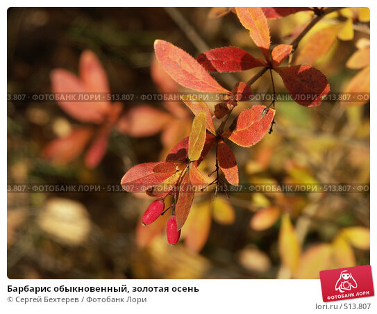 Барбарис обыкновенный, золотая осень. Стоковое фото, фотограф Сергей Бехтерев / Фотобанк Лори