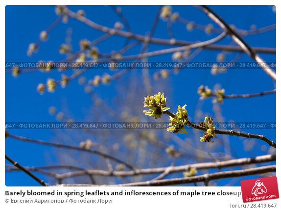 Купить «Barely bloomed in spring leaflets and inflorescences of maple tree closeup on a light blurred background», фото № 28419647, снято 12 мая 2018 г. (c) Евгений Харитонов / Фотобанк Лори